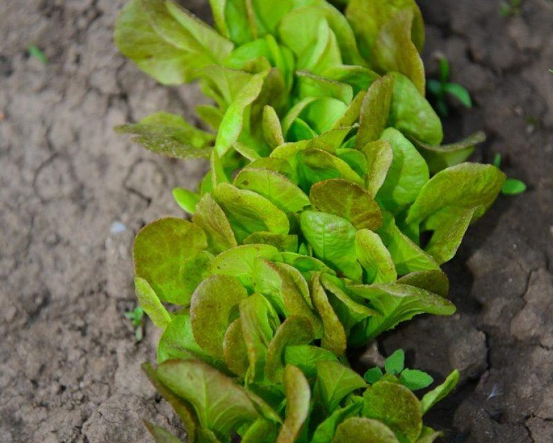 Grønne fingre eller ej: Dyrk din egen salat