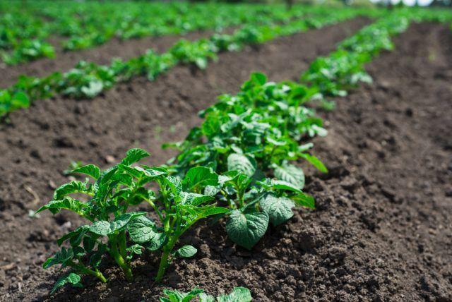 dyrk dine egne kartofler