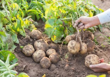 dyr kartofler
