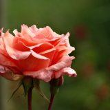 Sådan holder du dine roser sunde