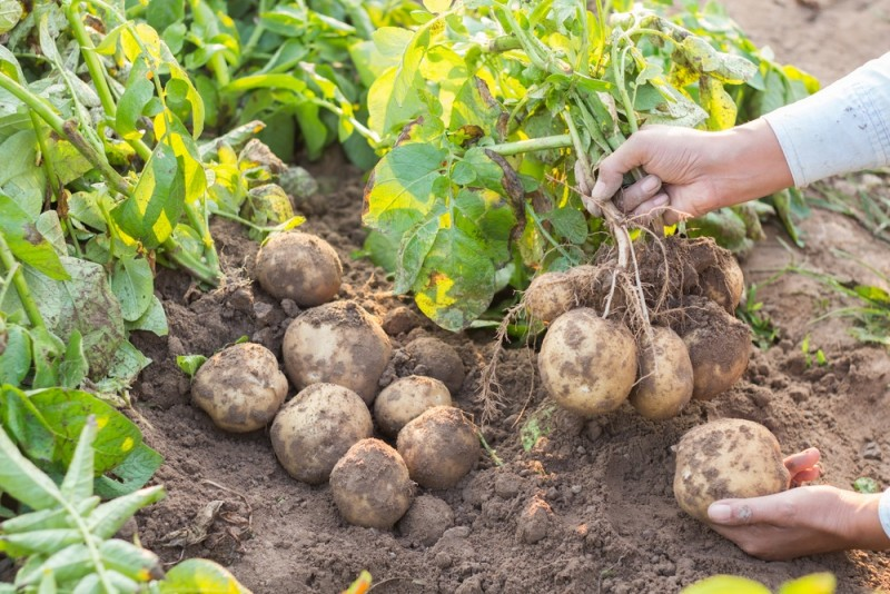5 trin: lær at dyrke dine egne kartofler