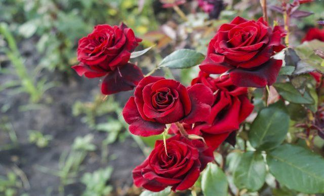hold roser sunde